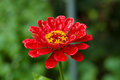 Zinnia angustifolia after rain Royalty Free Stock Photos