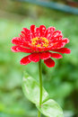 Zinnia angustifolia after rain Royalty Free Stock Photo