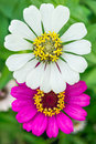 Zinnia angustifolia is a small species of zinnia native to the southwestern united states and northern mexico Royalty Free Stock Images