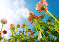 Zinnia Autumn Flowers Royalty Free Stock Images
