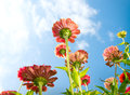 Zinnia Autumn Flowers Royalty Free Stock Photo