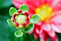 Zinnia Bud Stock Photo