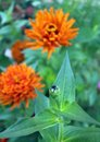 Zinnia bud orange and flower in the garden on daytime focus on the Royalty Free Stock Image