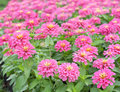 Zinnia color pink colorful flower in the garden Stock Photography
