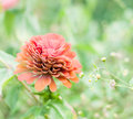 Zinnia delicate red flower shallow depth of field Royalty Free Stock Photo