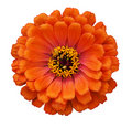 Zinnia elegans Royalty Free Stock Photo