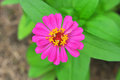 Zinnia flower Stock Photo