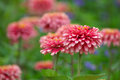 Zinnia flower blooming in garden Royalty Free Stock Photo