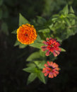 Zinnia flower a close up of a Stock Image