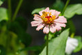Zinnia flower close up of light pink violacae cav Royalty Free Stock Photography