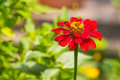 Zinnia flower close up of red violacae cav Royalty Free Stock Photo