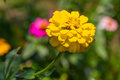 Zinnia flower close up of yellow violacae cav Royalty Free Stock Photos