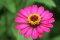 Zinnia flower color pink Royalty Free Stock Photos