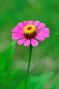 Zinnia flower on green background Royalty Free Stock Images