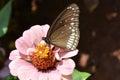 Zinnia flower7 Royalty Free Stock Photo