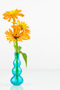 Zinnia flowers in blue vase three orange a clear glass with high key white background Royalty Free Stock Images