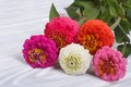 Zinnia flowers close up on wooden table multi colored Royalty Free Stock Photos