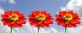 Zinnia flowers (Zinnia sp) Royalty Free Stock Photo