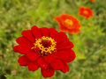 Zinnia graceful Royalty Free Stock Photos