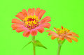 Zinnia on green background closeup of two zinnias one sharp and one soft against pastel with copy space zinnias are pastel orange Stock Photos