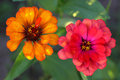 The Zinnia are a multi-colored flower Royalty Free Stock Photo