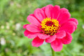Zinnia pink in the garden Stock Photos