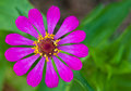 Zinnia violacea cav flower close up Royalty Free Stock Photography