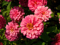 Zinnia or zinnia violacea cav close up shot of in sunlight Royalty Free Stock Image