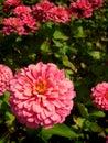 Zinnia or zinnia violacea cav close up shot of in sunlight Royalty Free Stock Photos