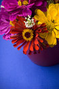 Zinnias on blue Stock Photo