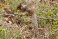 Zion National Park Rock Squirrel Royalty Free Stock Photo