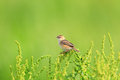 Zitting cisticola the or streaked fantail warbler juncidis singing male in japan Stock Images