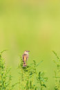 Zitting cisticola the or streaked fantail warbler juncidis singing male in japan Royalty Free Stock Photography