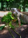 Zoo iguana feeding on leaves a photograph showing a captive rare in the fresh green during meal time the is a large Stock Photos