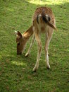 Zoo park poppi italy fawn an image of a in the of tuscany Royalty Free Stock Images
