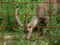 Zoo park poppi italy steinbock an image of a in the of tuscany Stock Photos