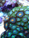 Zooanthid green polyp corals Royalty Free Stock Photo