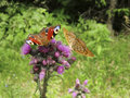 Zoology insects two butterflies on thistle Stock Image