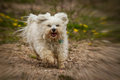 Zoom in rain a small white havanese has a lot of fun while running the the image was fitted with a effect Stock Photography