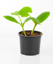 Zucchini seedlings in a pot Royalty Free Stock Photo