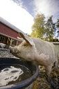 Zufriedenes Schwein Lizenzfreies Stockfoto