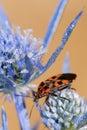 Zwart en rood insect Stock Foto's