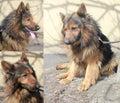 Zwarte en tan german shepherd hond Royalty-vrije Stock Afbeelding