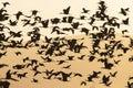 Zwarte Ibis, Glossy Ibis, Plegadis falcinellus