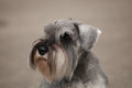 Zwergschnauzer Royalty Free Stock Photo