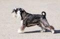 Zwergschnauzer dog Royalty Free Stock Photo