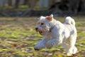 Zwergschnauzer white runs across the lawn Royalty Free Stock Photo