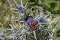 Zygaena carniolica burnet on amethyst sea holly eryngium amethystinum in italy Stock Image