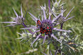 Zygaena carniolica burnet on amethyst sea holly italy eryngium amethystinum monte baldo europe Royalty Free Stock Photo