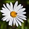 White and Yellow Daisy Flower Stock Photo